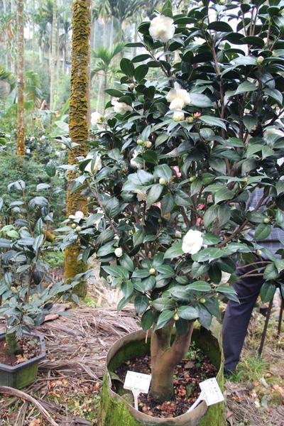 有着金丝雀黄的茶花--戴罗尼加。(摄影:李撷璎/大纪元)