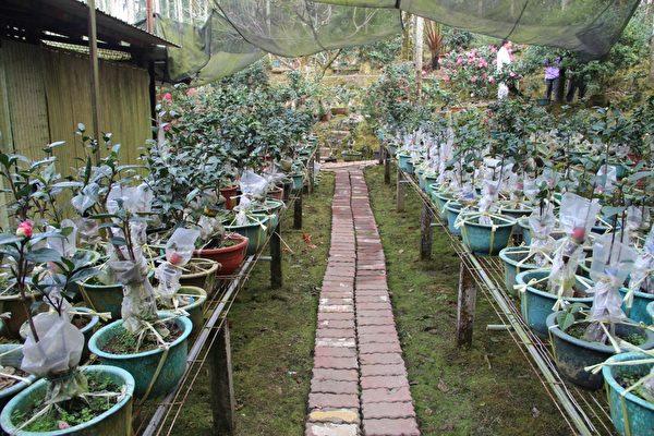 三宝山茶花园的育苗园。(摄影:李撷璎/大纪元)