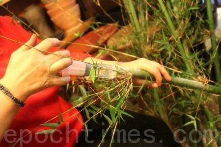 為青竹打針?為了讓竹子上的翠綠竹葉,不過早的枯萎,人工補強的辦法就是注入清水。(攝影:白宜芳/大紀元)