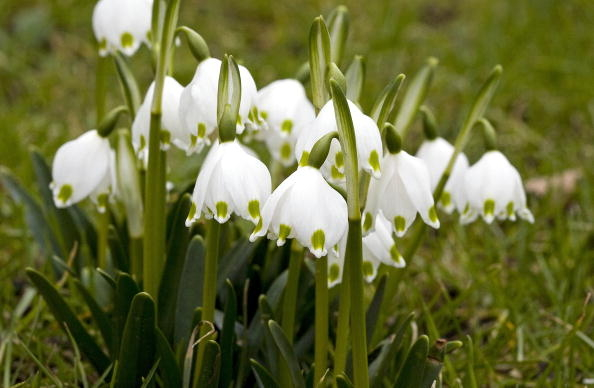 荷蘭祖特梅爾的雪花蓮(Snowdrops, Galanthus),攝於2010年3月8日。雪花蓮是慶祝春天的標誌。(LEX VAN LIESHOUT/AFP/Getty Images)