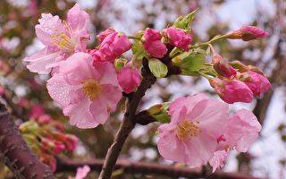 从日本河津町原产、新引入台湾的河津樱,约2月初开花,可在新竹玻璃博物馆及新竹巿立动物园赏花。(景观达人李碧峰提供/中央社)