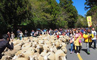 清境农场以奔羊节欢庆52周年,大批游客扮演牧羊人驱赶102只羊群,一起祝贺清境农场生日快乐!(南投县政府提供)
