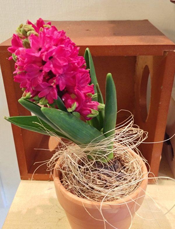 风信子散发出淡淡花香味,等到花跟叶子枯萎后,将球根挖出,稍微清洁干净再用报纸包起最后放到冰箱冷藏,等到11月底或12月拿出来种植。(小巷爱乐芬花草铺提供)
