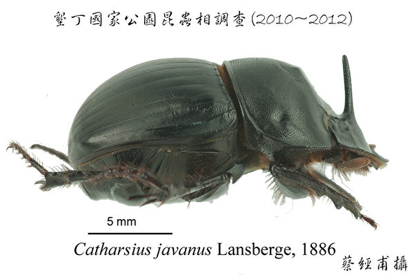 垦丁国家公园管理处27日表示,垦管处委托学术研究团队调查,在国家公园内发现2种台湾新纪录种粪金龟,图为其中之一的爪哇弭溷蜣(C.javanus)。(垦管处提供)