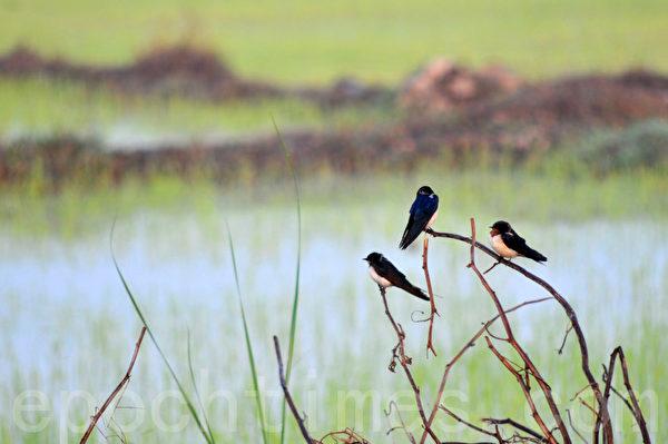 早起的鸟儿有虫吃,燕子吃不吃虫? (摄影:明国/大纪元)
