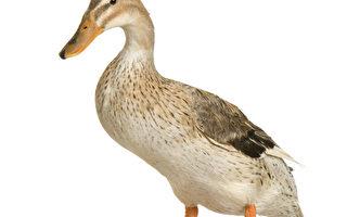 因果报应实录:人变鸭子 不停的叫