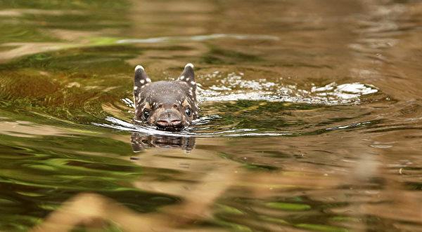 """2013年3月7日,在德国东部的莱比锡(Leipzig)的""""冈瓦纳古陆""""(Gondwanaland)的动物园,一只于2月9日出世的雄貘宝宝在水池里洗澡。 (JAN WOITAS/AFP)"""