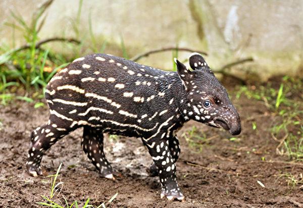 """2013年3月7日,在德国东部的莱比锡(Leipzig)的""""冈瓦纳古陆""""(Gondwanaland)的动物园,一只于2月9日出世的雄貘宝宝在动物园里亮相。 (JAN WOITAS/AFP)"""