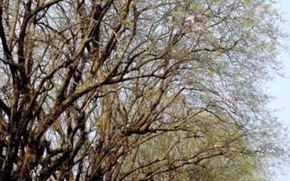 烏山頭水庫風景區多種櫻花正盛開,香榭大道老櫻花樹風起落英繽紛,宛如櫻花雨下。(攝影:賴友容/大紀元)
