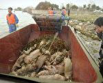 两会期间,上海黄浦江打捞出来了近6000头死猪成为世界的抢鲜话题。图为工作人员在收罗死猪。(Peter PARKS/AFP)