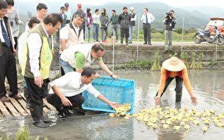 宜蘭提倡自然農法  建立魚筊鴨共生田