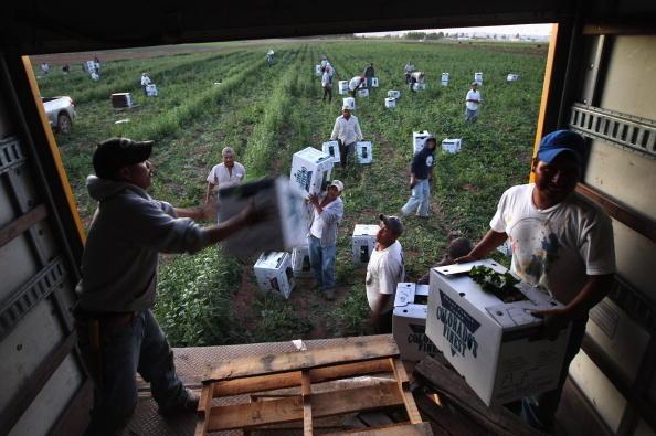 美國將在2021年內頒發33萬7千農場工人簽證。圖為科羅拉多州一農場內雇用的勞工。 (John Moore/Getty Images)