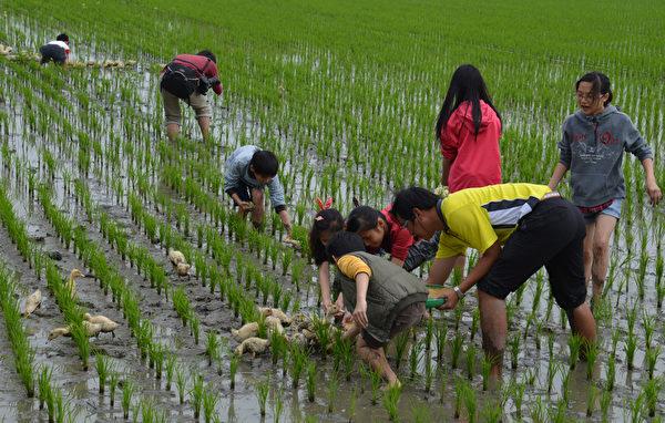 云林县1处稻田,鸭子和稻子同地生长的有机耕作成为特色,国小学童体验田间乐,从小扎根友善土地的观念。(云林县政府提供)