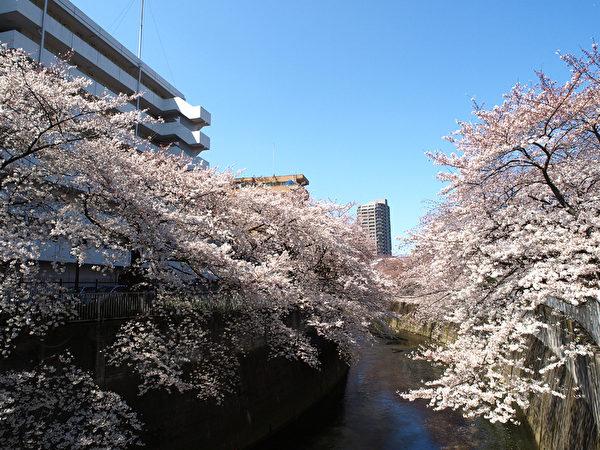 每年4月樱花盛开的季节,文京区的神田川作为东京的樱花名所之一吸引著无数游人。(网络图片)