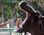 河馬雖是素食動物,但也是野生動物界保護幼兒最強烈的動物。(AFP PHOTO/Raul ARBOLEDA)