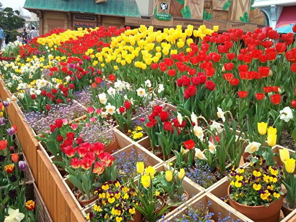 郁金香花圃(图片来源:作者提供)