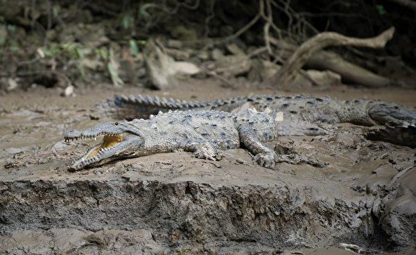 苏米德罗大峡谷格里哈尔瓦河浅滩的鳄鱼。(Yuri CORTEZ/AFP)
