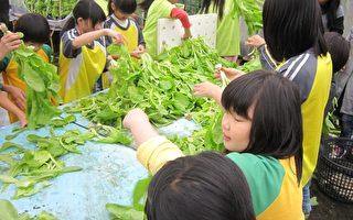 芬园国小学童认真地采收水耕蔬菜。(南投家扶中心提供)