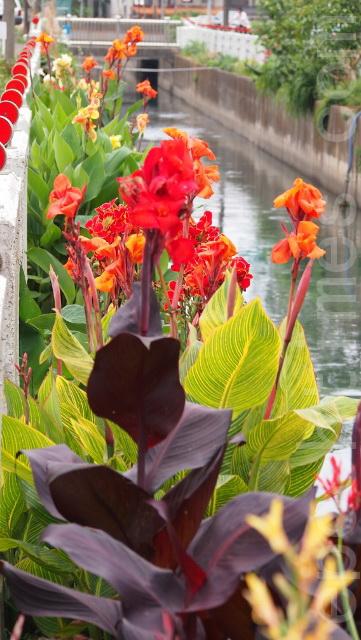 美人蕉大紅色的花朵正迎春(攝影:徐乃義/大紀元)