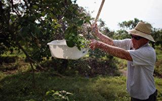 2013年5月13日,美国佛罗里达州正奋战历史上最严重的柑橘黄龙病的威胁。(Joe Raedle/Getty Images)