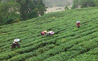 羽唐文化茗茶馆的茶产自风景优美的阿里山太和村。(羽唐文化茗茶馆提供)