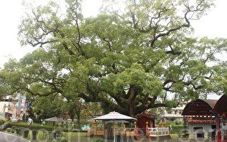 700歲大樟樹微恙  樹醫生診斷無大礙