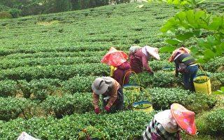 羽唐阿里山茶产自太和村,滋味甘醇、富活性。(羽唐文化茗茶馆提供)