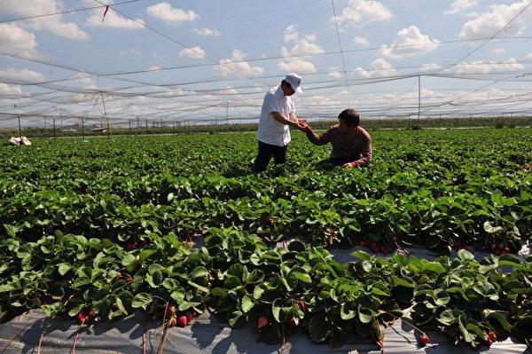 网室栽培草莓园。(福乐屋提供)