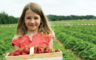 采摘劳力不足 西澳草莓农场提前向公众开放