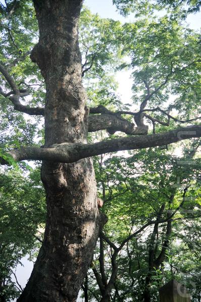 崇义殿前有两棵600年树龄的古木,这是其中一棵 (摄影:明国/大纪元)