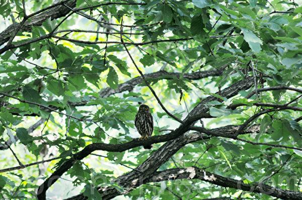 有幸遇上在这里栖息上了百年的猫头鹰,可能是这里的守护神 (摄影:明国/大纪元)
