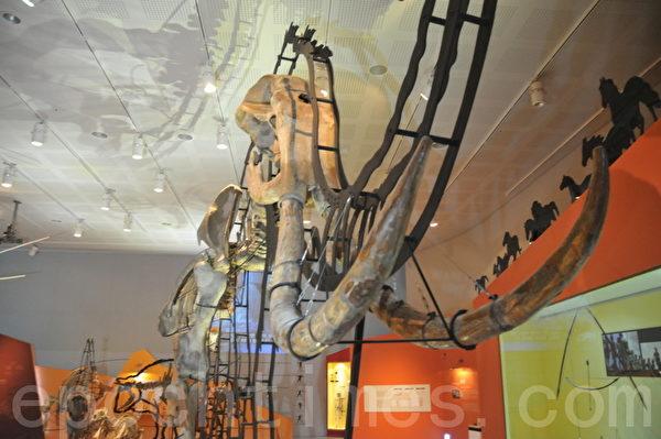 全谷里先史博物馆内巨大的长毛像的骨架 (摄影: 明国/大纪元)