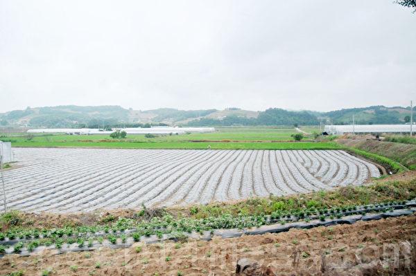 坐车在这一带穿行,可以看到很多绿油油的园圃 (摄影: 明国/大纪元)