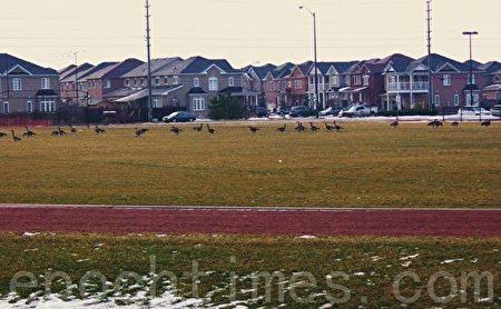 隆冬时节,大雁依然安详地在橄榄球场歇息。(李文笛/大纪元)
