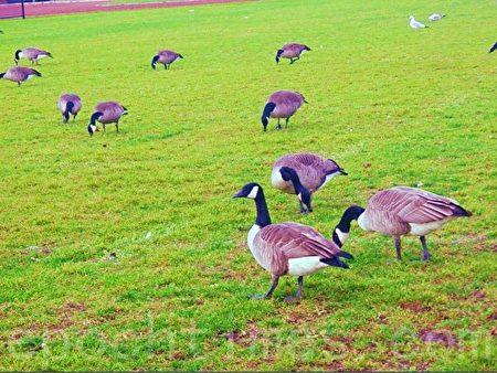 11月9日冬天已经来临,大雁依然安详的在橄榄球场觅食。(李文笛/大纪元)
