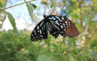 紫斑蝶的一生都漂亮绚烂,成蝶的时候紫色的流光飞舞,这样的光彩在还是个蛹的时候就看得出来,嫩芽上悬吊着七彩的睡袋,光泽流动。(西拉雅国家风景区管理处提供)