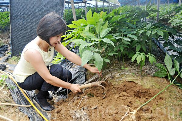 亲手挖人参是很难得的体验 (摄影:明国/大纪元)