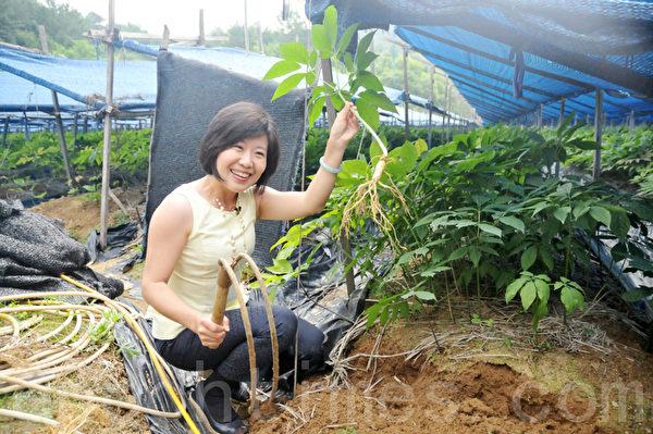 虽然不是自己亲手栽种,能亲手挖出人参还是能给人带来满足 (摄影:明国/大纪元)