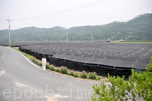 一排又一排用来保护人参的塑料棚成为锦山郡独特的风景线 (摄影:明国/大纪元)