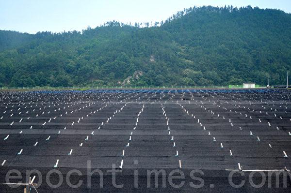 在锦山郡所有的人工栽培人参的农地都会搭起一排一排的塑料棚来保护人参免受阳光的直接照射 (摄影:明国/大纪元)