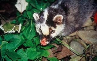 行政院農業委員會家畜衛生試驗所16日召開專家會議確 診自3例野生鼬獾遺體檢出狂犬病,不排除是走私動物 被野放所致。(農委會特生中心提供)