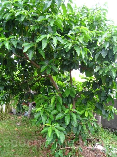 酪梨树(摄影:杨美琴/大纪元)