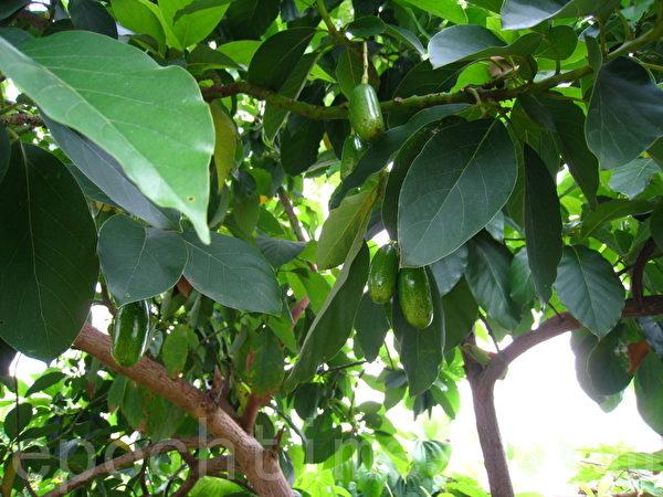 酪梨树上的酪梨(摄影:杨美琴/大纪元)