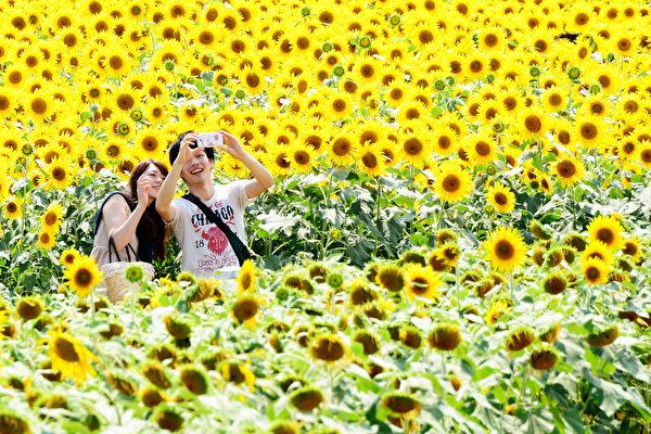 日本神奈川县座间市,一对情侣在向日葵的簇拥下拍照留念。种植著55万株向日葵的座间市,在首都圈一带首屈一指。(Toru YAMANAKA/AFP)