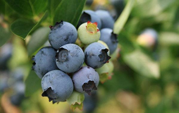 现在整个果园已经发展到近16公顷。从7月中旬到8月末,蓝莓园每天都将对外开放。(Schrijnwerkers蓝莓园提供)