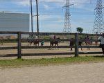 孩子們做表演之前先在這個場地走一圈。每匹馬都有一位馬場的工作人員牽著。(攝影:尚天/大紀元)