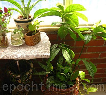 盆栽不只视觉美观,也能减少负能量。(摄影:杨美琴/大纪元)(摄影:杨美琴/大纪元)