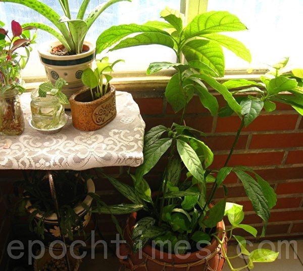盆栽不只视觉美观,也能减少负能量。(杨美琴/大纪元)