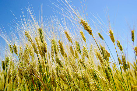 美国北达科他州,又到了收割小麦的季节。受天气潮湿影响,今年该州小麦产量有所下降。(Karen BLEIER/AFP)