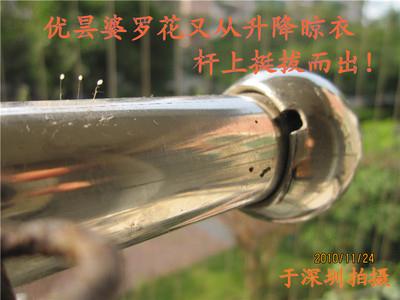 优昙婆罗花从不锈钢杆上绽放。(摄影: 一莲 / 大纪元)
